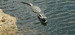 Floating Alligator Decoy Critter Deterrent