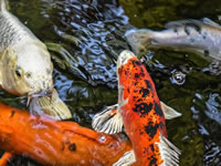 more than just a koi pond article