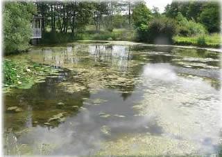 Pond algae and how to control algae for Koi pond forms